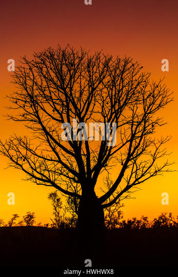 Boab (Baobab) Tree - The Kimberley - Western Australia - Stock Image