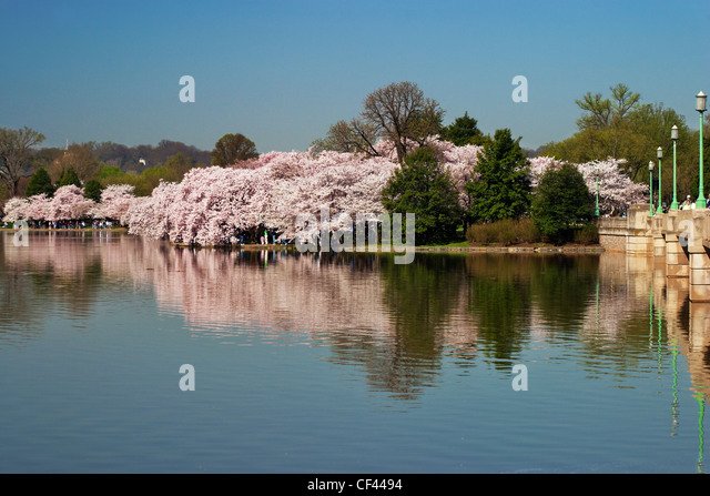 Japanese cherry blossom trees in bloom along the perimeter of the Tidal Basin, Washington; DC. - Stock Image