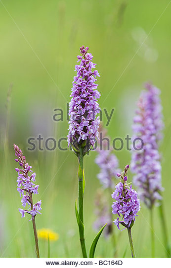 Gymnadenia conopsea . Fragrant Orchids in the grass in an English nature reserve - Stock Image