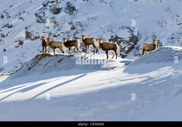 Rocky Mountain bighorn sheep, Ovis Canadensis, in winter, Monarch Pass, Colorado, USA - Stock Image