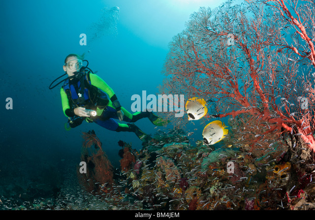 Panda Butterflyfish and Scuba Diver, Chaetodon adiergastos, Raja Ampat, West Papua, Indonesia - Stock Image