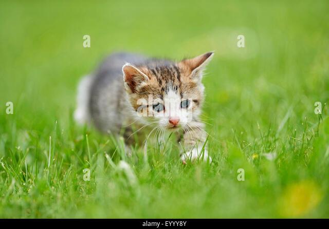 domestic cat, house cat (Felis silvestris f. catus), six weeks old kitten in a meadow, Germany - Stock Image