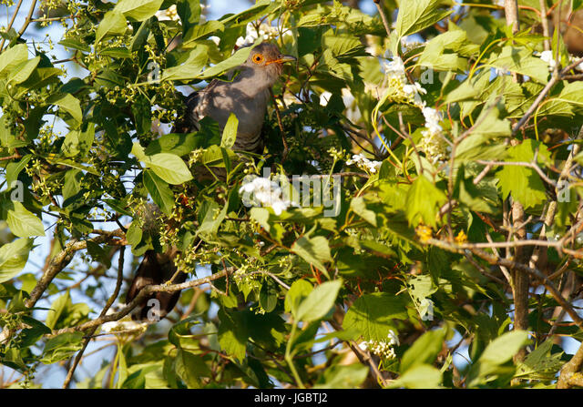 Common cuckoo (Cuculus canorus), gray morph hidden in dense shrub, Middle Elbe Biosphere Reserve, Dessau-Rosslau, - Stock Image