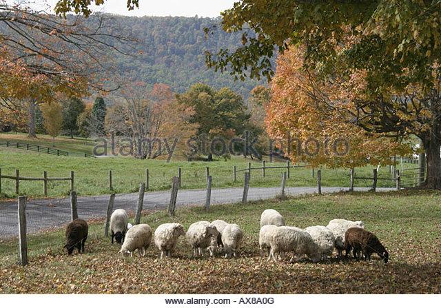 West Virginia Lewisburg sheep rural scenery road fall colors - Stock Image