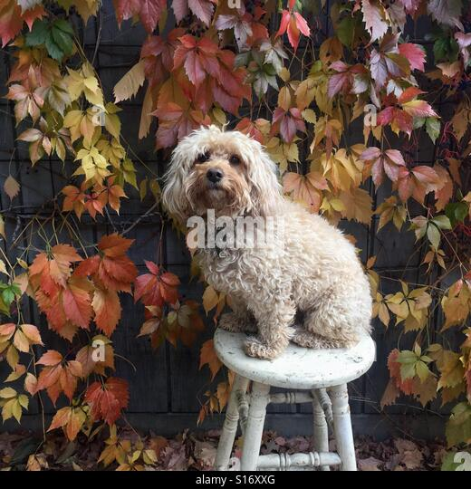 A goldendoodle puppy sits in front of a wall covered and colorful leaves. - Stock-Bilder