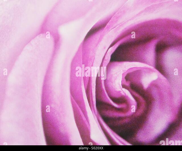 Purple rose - Stock Image