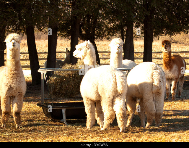 Camera countryside animals agricultural stock photos for Alpaca view farm cuisine