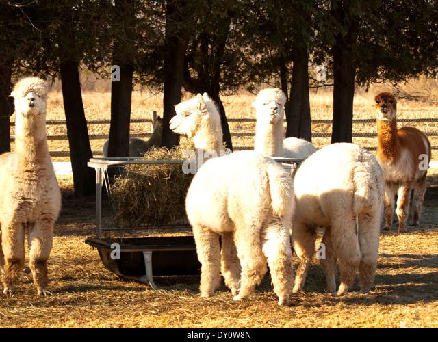 Camera countryside animals agricultural stock photos for Alpaca view farm cuisine