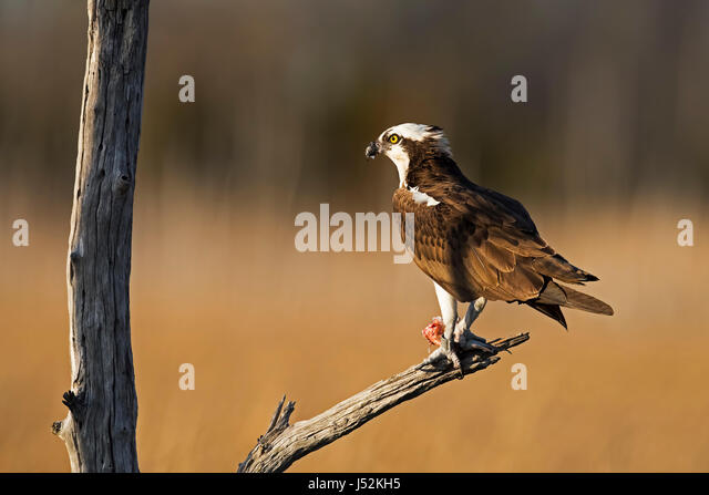 Osprey in Tree With Fish - Stock Image