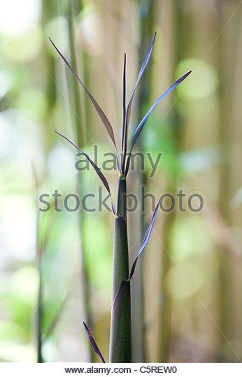 Semiarundinaria fastuosa. Temple Bamboo shoot . Narihira bamboo - Stock Image