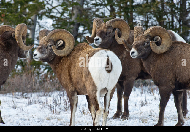 An image of a group of Bighorn Sheep - Stock Image