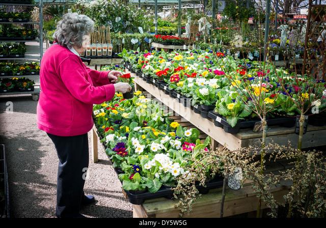 Customer selecting primroses to buy in an English garden centre - Stock Image