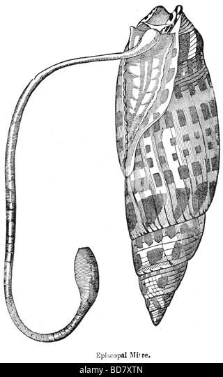 Pholas Dactylus - Estratto Del