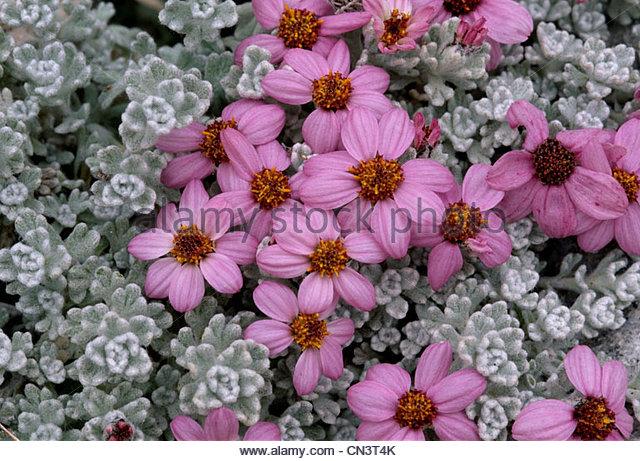 Flowers, Baltoro Glaciers, Paksitan - Stock-Bilder