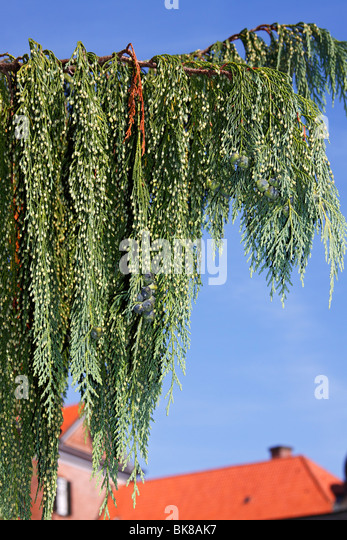 Nootka Cypress (Chamaecyparis nootkatensis, Pendula variety) - Stock Image