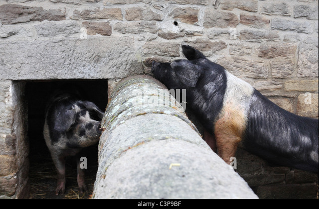 A boar unsuccessfully attempts to make contact with a sow in the adjacent sty. Beamish Museum farm, northern England, - Stock Image