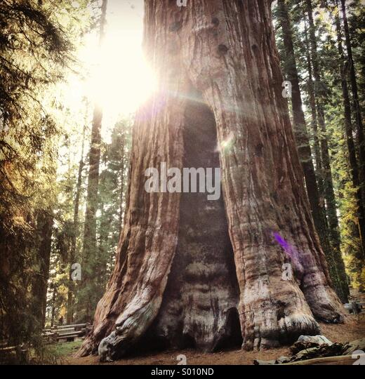General Sherman Tree - Stock Image