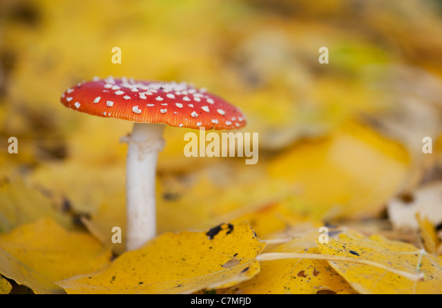 Amanita muscaria, Fly agaric mushroom growing amongst fallen golden leaves in a woodland. - Stock Image