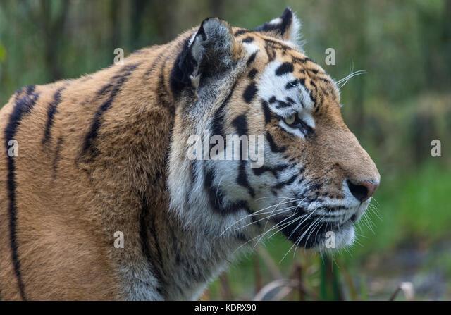 An Amur Tiger or Siberian Tiger - Northeast China and eastern Siberia in Russia. Panthera tigris. - Stock Image