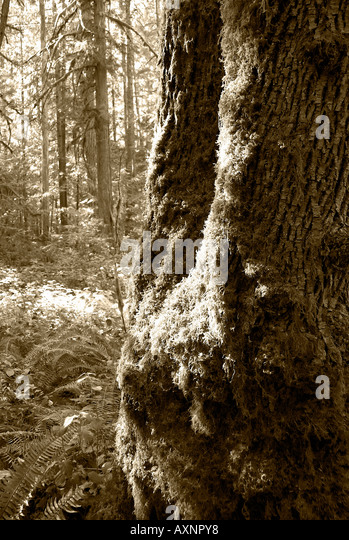 Ron Hayes Nature Scenes Trees and Moss - Stock Image
