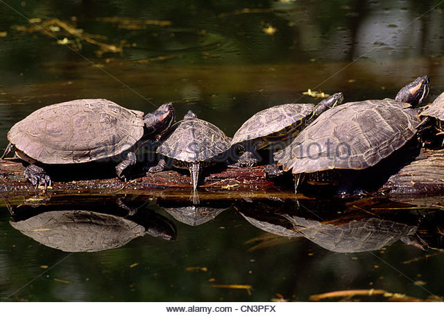 Red-eared sliders sunbathing on a log, native to the southern USA - Stock Image