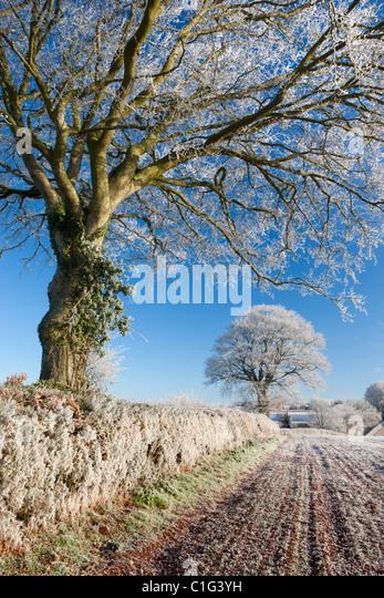 Hoar frosted beech trees in a field hedgerow, Bow, Devon, England. Winter (December) 2010. - Stock Image