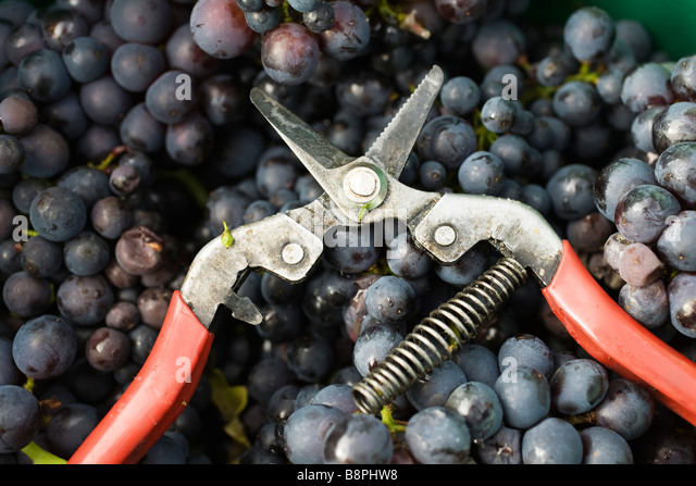 Pruning shears on heap of grapes - Stock Image