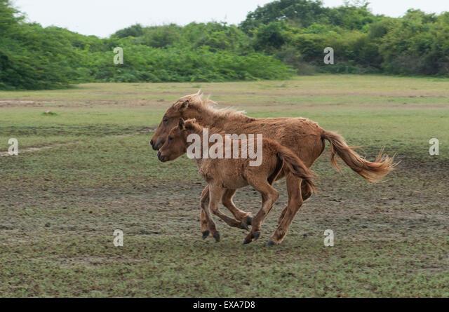 Ponies in India - Stock Image
