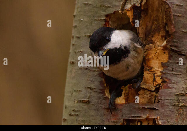 chickadee peering out of a tree - Stock Image
