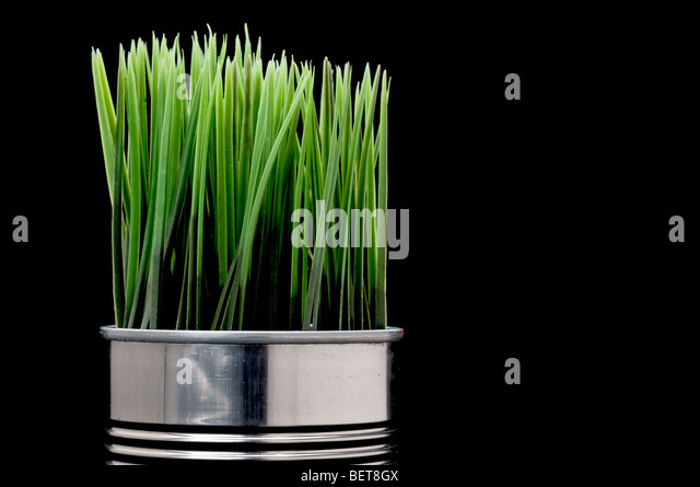 Green grass growing from a recycled aluminum can - Stock Image