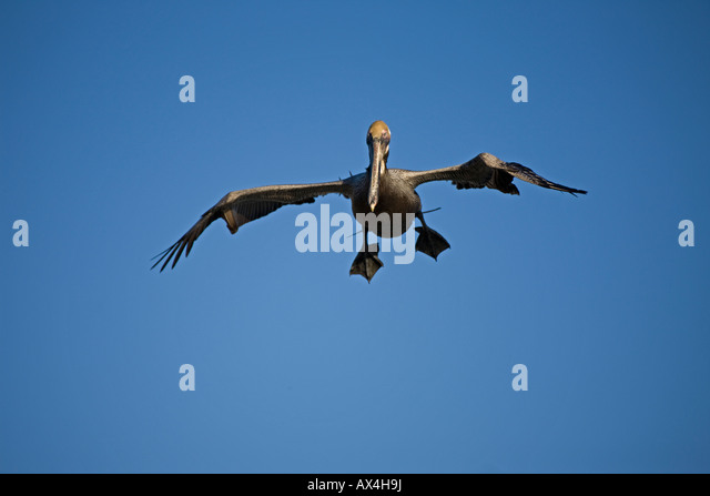 Brown Pelican (Pelecanus occidentalis) Sonora Mexico Adult Soaring - Stock Image