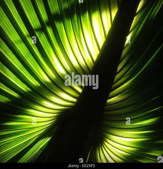 Palm leaves, Yucatan Peninsula, Mexico - Stock Image