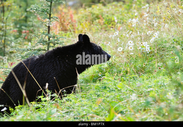 Black bear, Jasper National Park, Alberta, Canada, North America - Stock Image