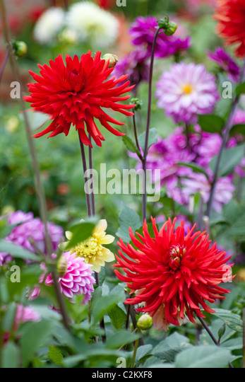 Red Cactus Dahlia 'Bergers Record' in dahlia border - Stock Image
