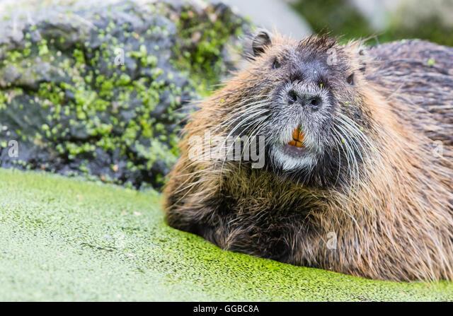 Beaver eating leaves stock photos beaver eating leaves for Castor habitat