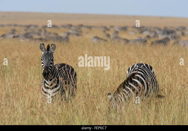 Plains zebras (Equus quagga), Masai Mara, Kenya, Africa - Stock Image