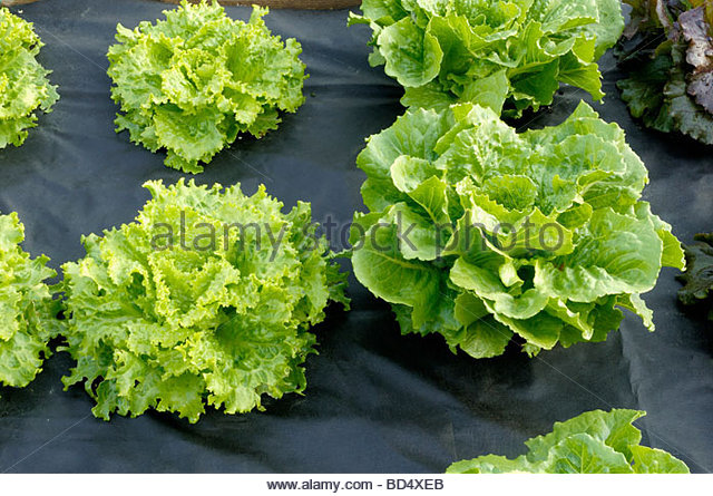 lettuce lollo stock photos lettuce lollo stock images alamy. Black Bedroom Furniture Sets. Home Design Ideas