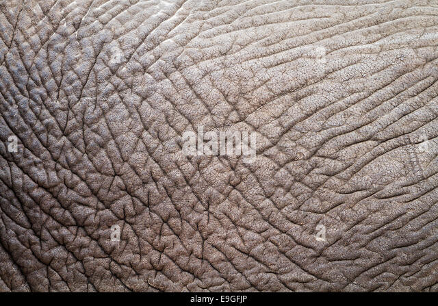 Close-up of the wrinkled skin of an African Elephant (Loxodonta africana) revealing abstract details, patterns and - Stock Image