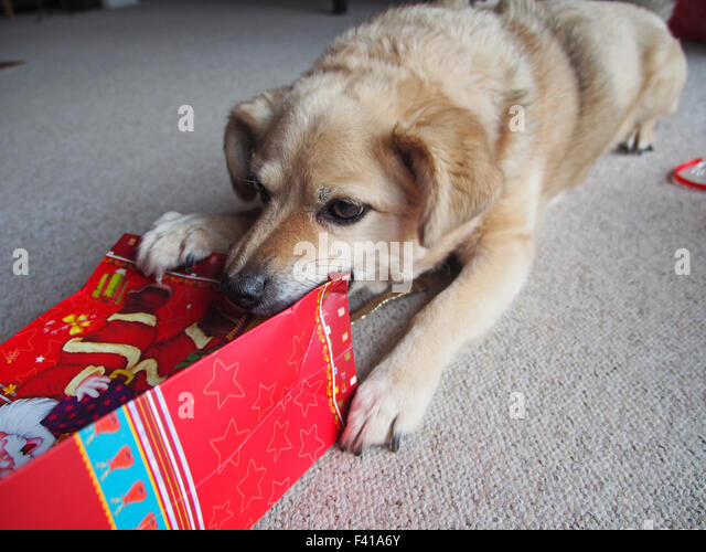 dog with a christmas gift - Stock Image
