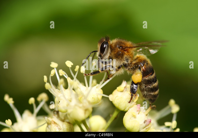 Worker bee collects honey on a white flower - Stock Image