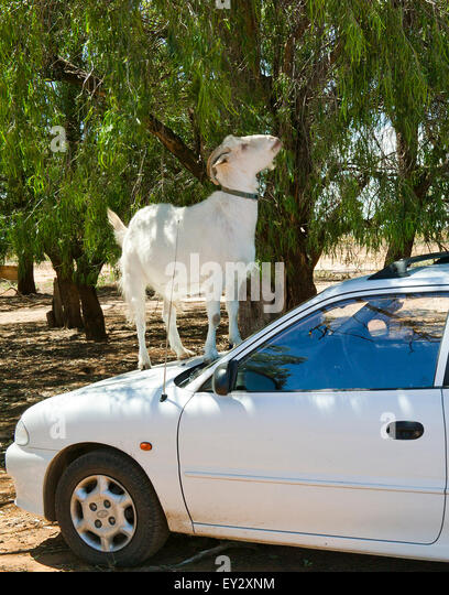 Australia, NSW, Outback New South Wales, Macquarie Marshes, cheeky goat at Willie Station - Stock Image