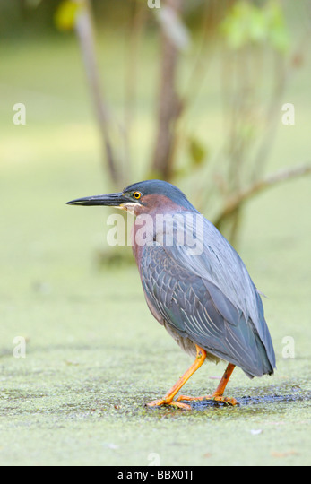 Green Heron - Vertical - Stock Image