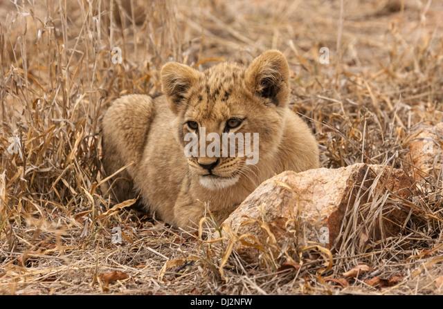 Lion Cub hugging Mothe...