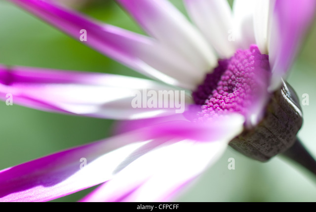 senetti flower - Stock Image