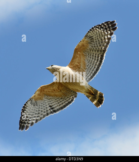 Red-shouldered Hawk In Flight - Stock Image