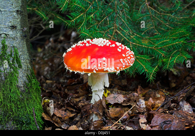 Fly Agaric mushroom on forest floor. - Stock Image