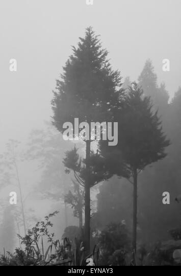 Pine trees as seen through fog and mist, copy space - Stock Image