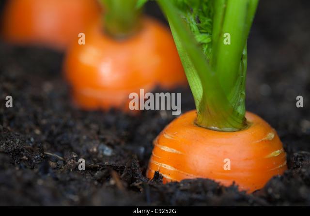 Macro of carrots growing in soil in a garden, Kodiak Island, Southwest Alaska, Summer - Stock Image