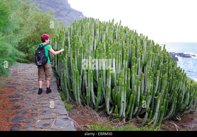 Canary island spurge stock photos canary island spurge - Standing canarias ...