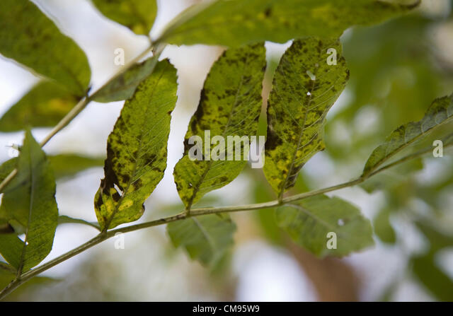 The general public has been asked to report suspected cases of ash dieback diseases caused by the chalera fraxinea - Stock Image